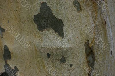 Sycamore bark texture background
