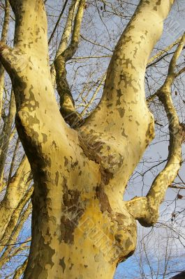 Sycamore's trees in winter