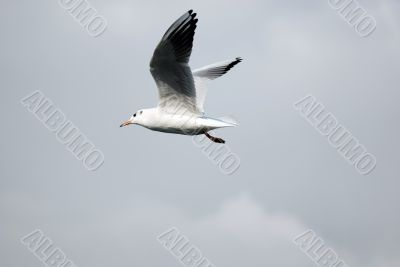 sea-gull flying on clean sky