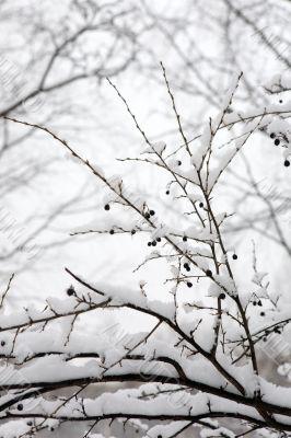 Berry bush in winter wood