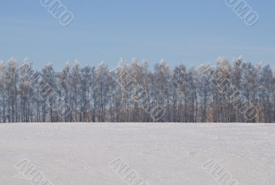 A row of birches in a winter snow-covered field