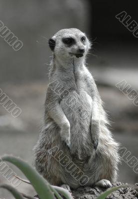 Meerkat Observation