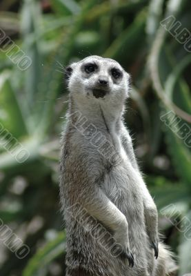 Meerkat Observation Too
