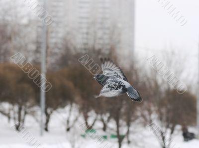 A pigeon flighting via the park