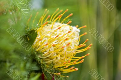 Yellow blooming protea pincushion