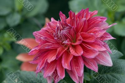Rosy dahlia flower