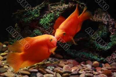 Two kissing orange fishes