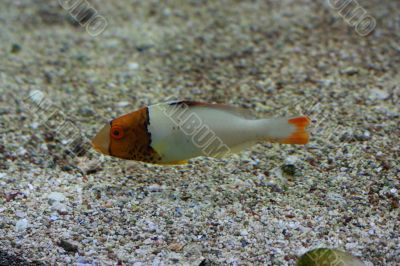Orange head fish