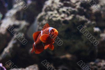 Cloun fish