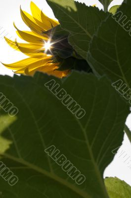 Sunflower bathing in sunlight