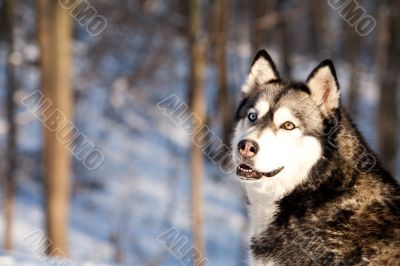 Crossbreed Huskey Malamut in the snow looking behind