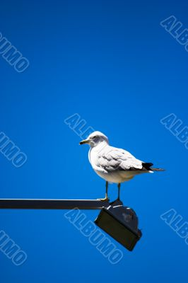seagull at the light