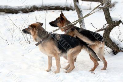 A pair of german shepherd. Danger