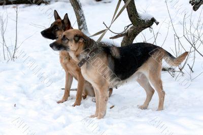 A pair of german shepherd looking for the owner