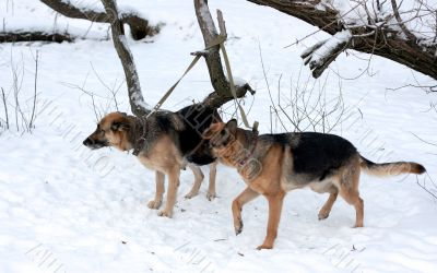A pair on german shepherd on a leash