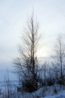 Tatarstan. A birch at winter