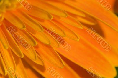 Petal of orange marguerite