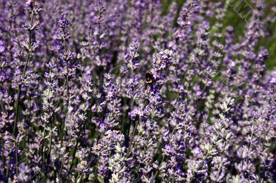 Beautiful purple blooming lavender
