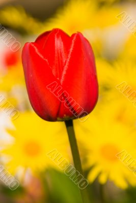 Tulip on yellow background