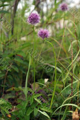 flowering wild leek