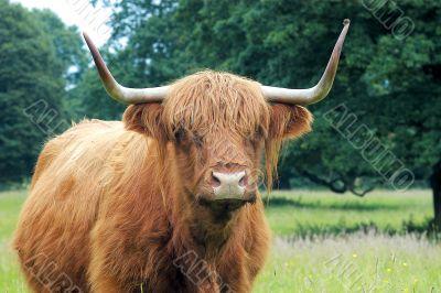 Highland bull, Scotland