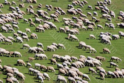 sheep herd on green meadow