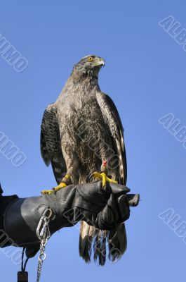 Goshawk on glove of trainer