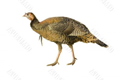 Turkey hen or very young jake strutting