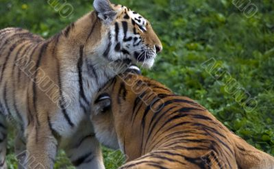 Two tigers playing in aggressive manner