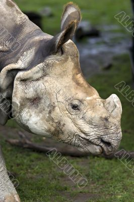 Close-up of muddy rhinoceros head