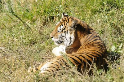 Bengal Tiger resting in the sun