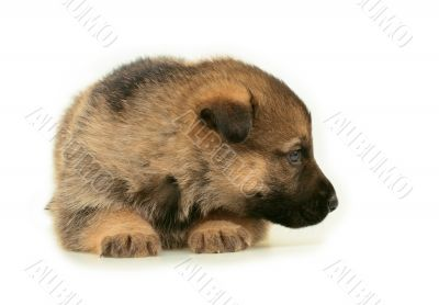 laying sheep-dogs puppy isolated on white background