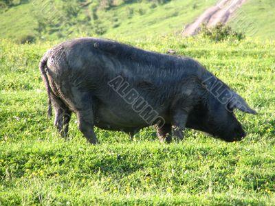 Nice pig