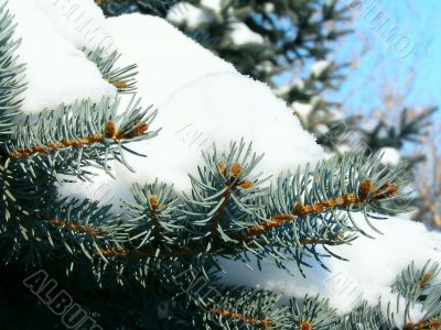 the fluffy branches of blue fir-tree