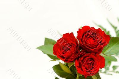 Beautiful roses on a white shiny background.
