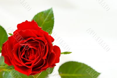 Beautiful red rose with place for text