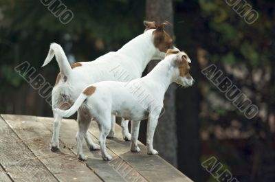 Jack Russell Terriers Ready to Hunt