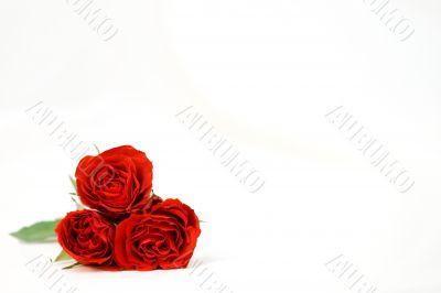 Beautiful roses on a white shiny background