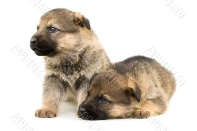 two sheep-dogs puppys isolated on white background