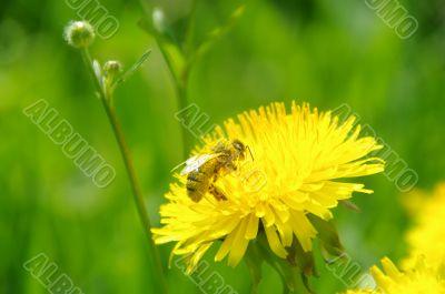 bee, macro, yellow, pollen, nectar, collect,