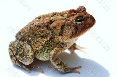 single toad