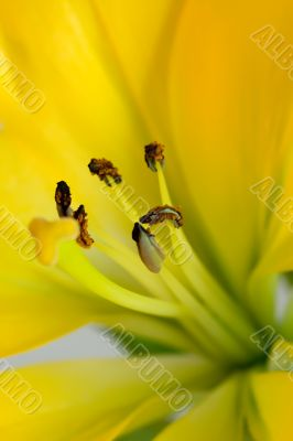 The yellow lily with brown stamens close-up