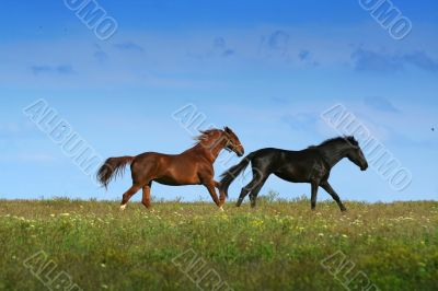two horses on the meadow