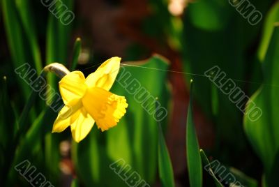 Daffodil and Spider`s Snare