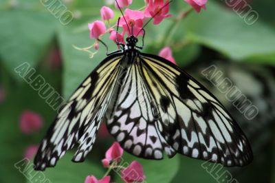 Rice Paper butterfly (Idea leuconoe)