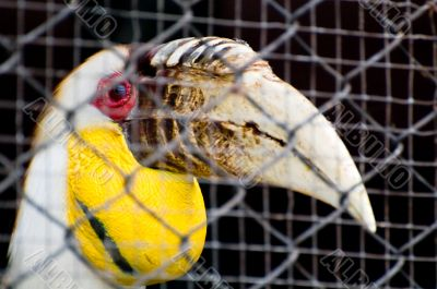 Hornbill in a cage
