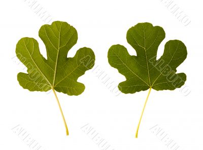 fig. one leaf - two sides