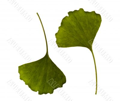 ginkgo biloba. one leaf - two sides