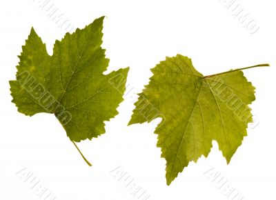 wine. one leaf - two sides