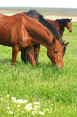 three horses are grazed on a meadow
